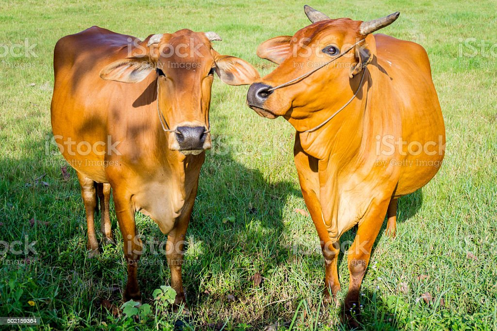 Cows eating in green fresh field stock photo
