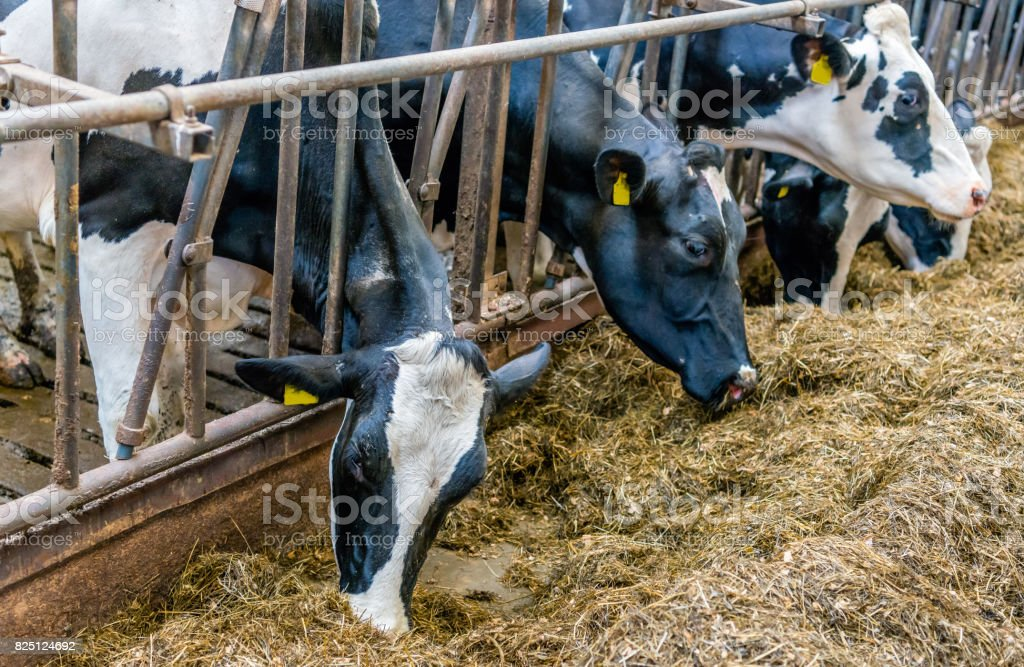Cows eating silage stock photo