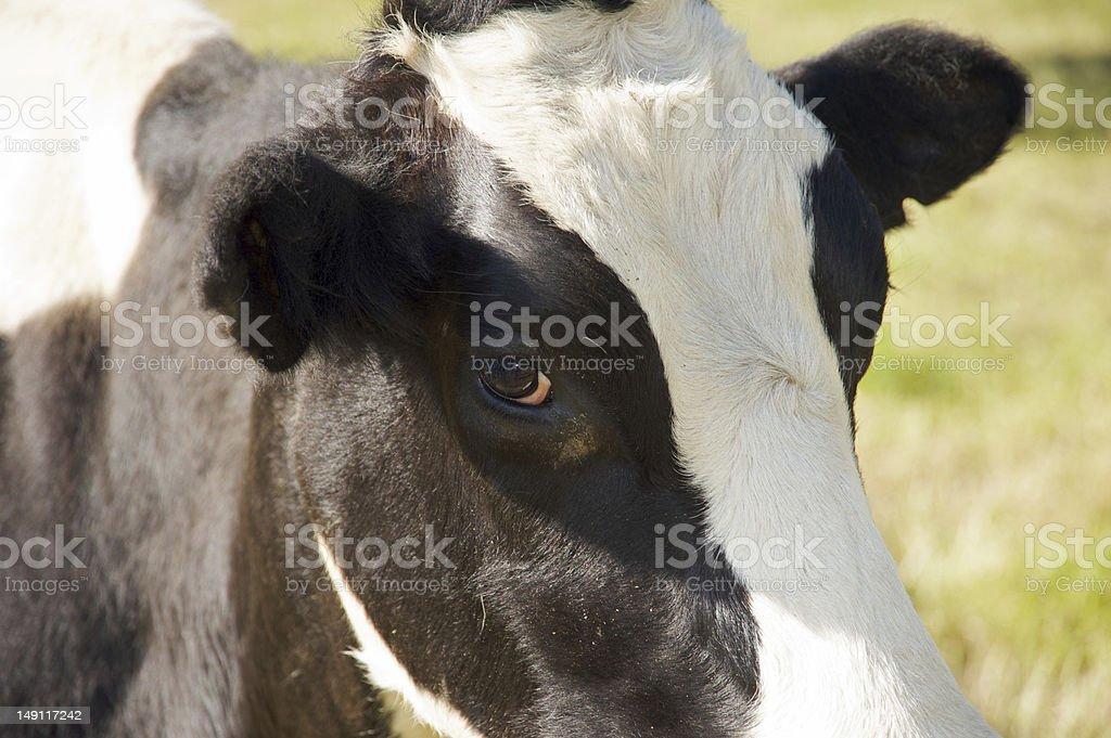 Cow's eye royalty-free stock photo