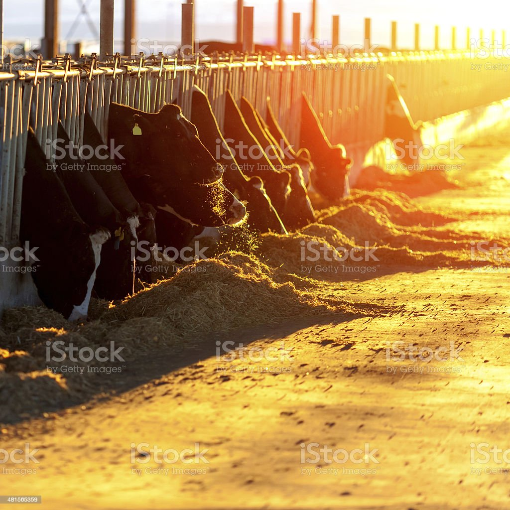 Cows Feeding at sunset stock photo
