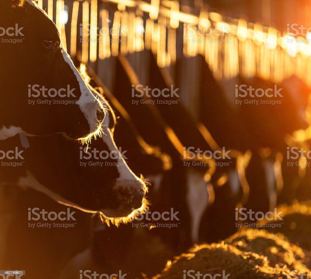 Cows Feeding stock photo