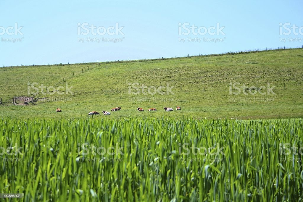 Cows & fields - summer times stock photo