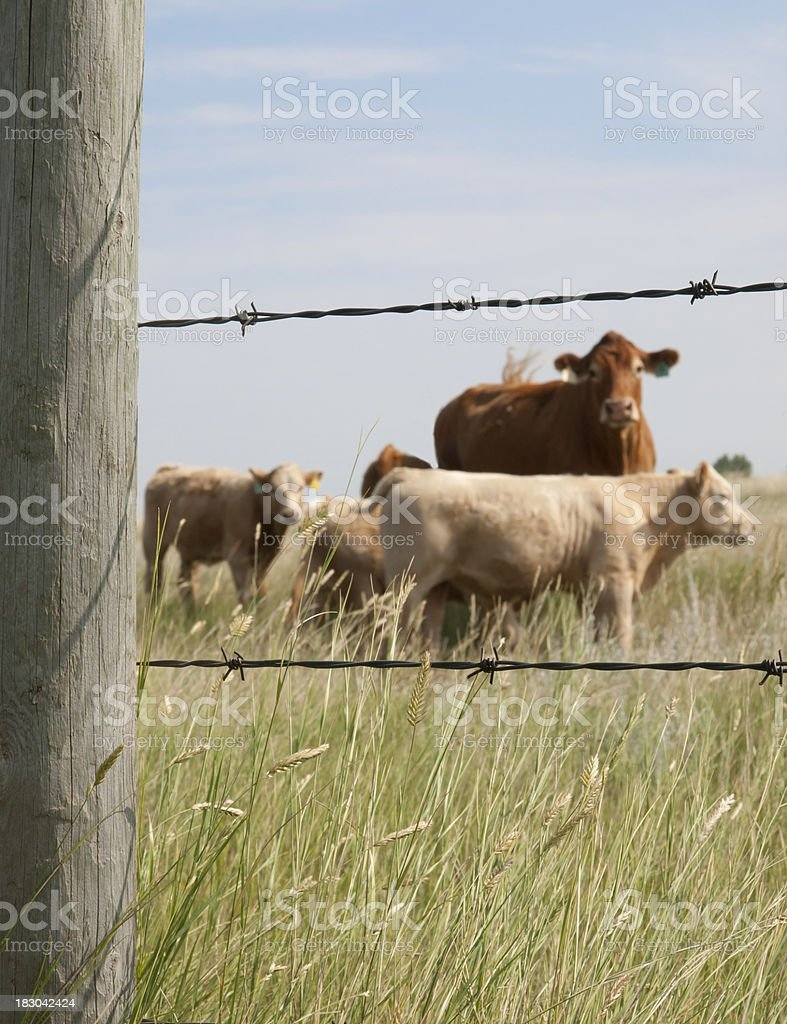 Cows Framed By Fence - Post is in Focus royalty-free stock photo