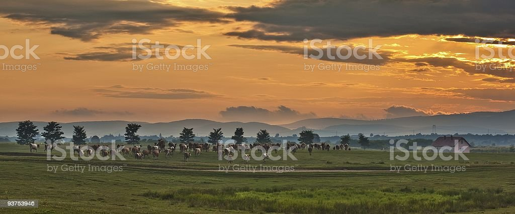 Cows going home royalty-free stock photo