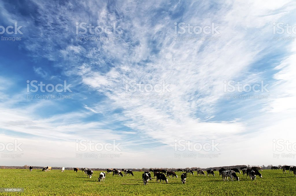 Cows graze in the meadow stock photo