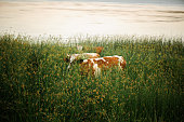 cows graze in the tall grass