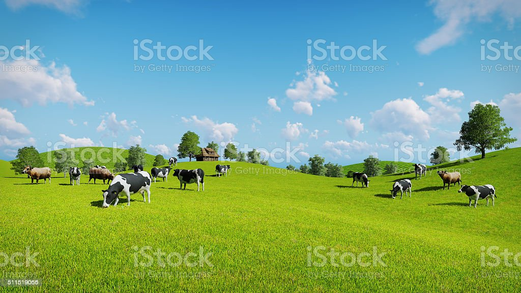 Cows graze on the open green meadows stock photo