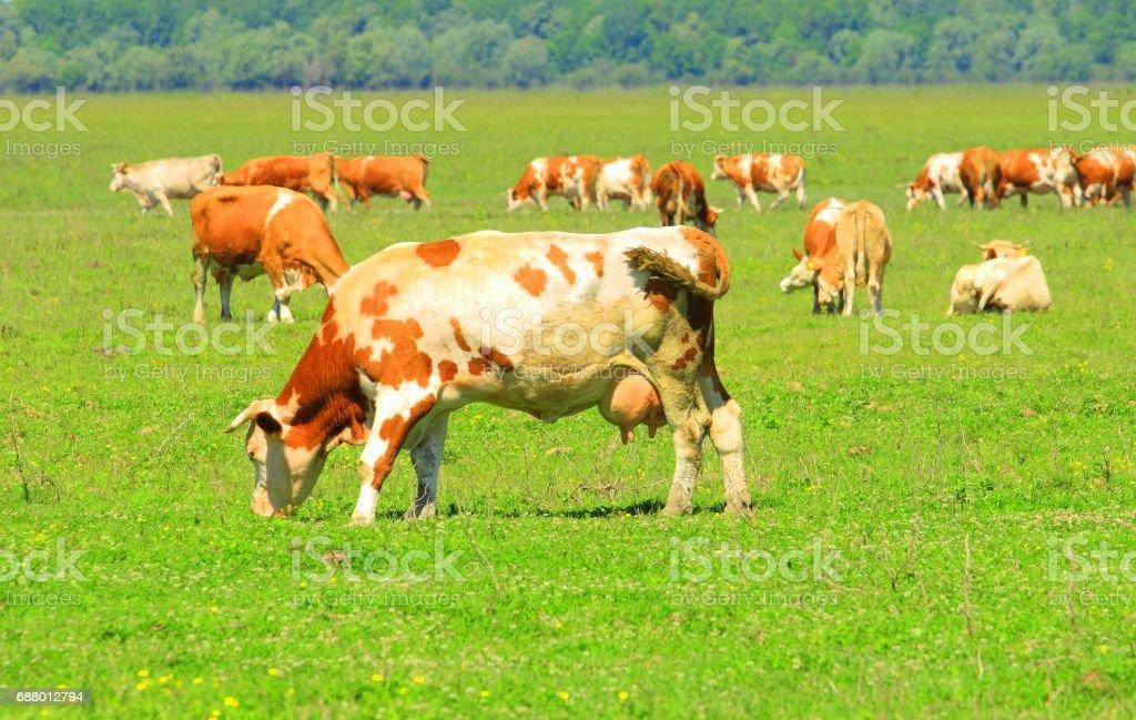 Cows graze stock photo