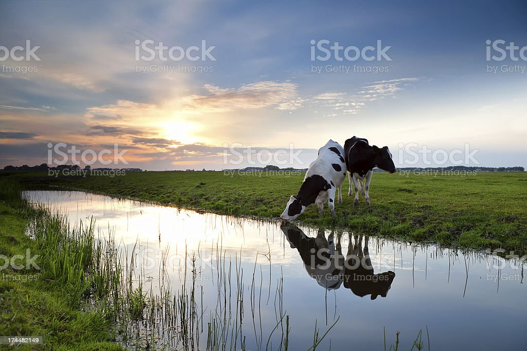 cows grazing at sunset stock photo