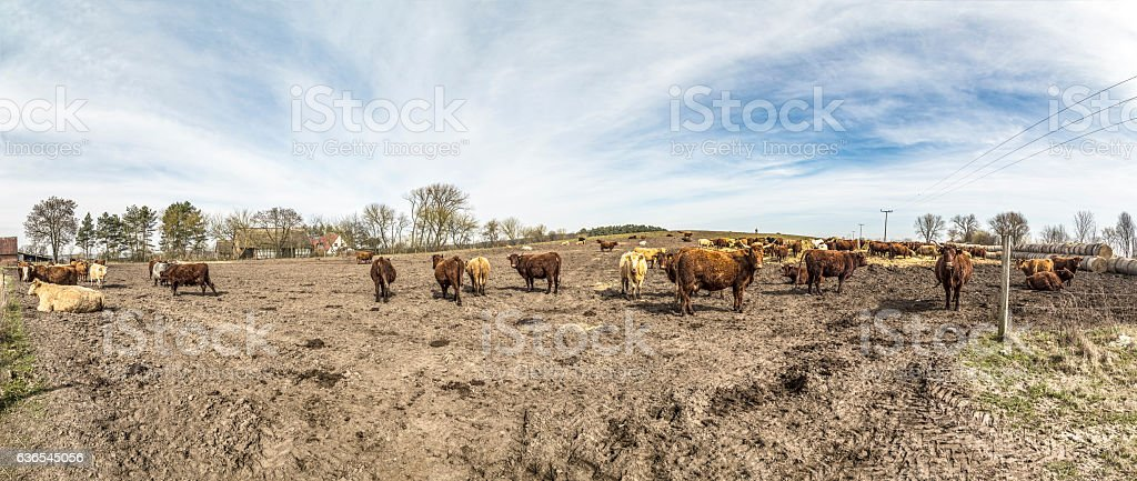 cows grazing at the field stock photo