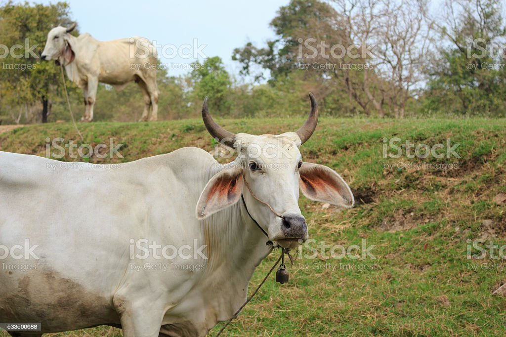 Cows grazing in a farm stock photo