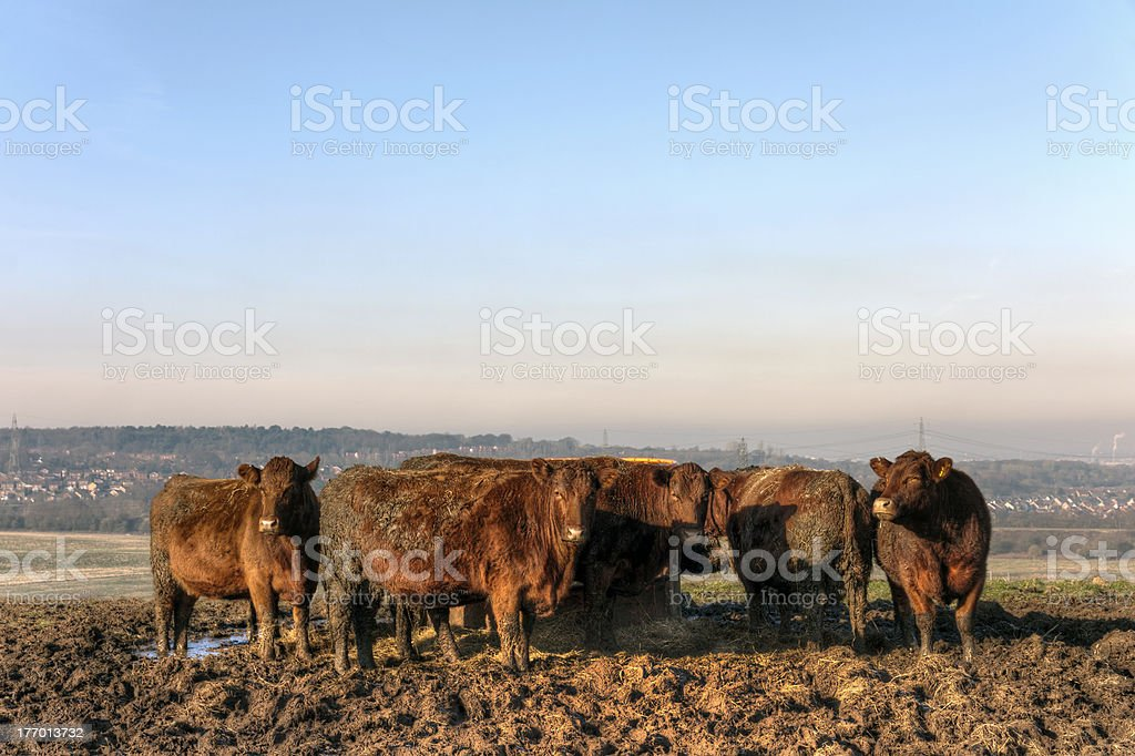 Cows grazing in a field, Cheshire royalty-free stock photo