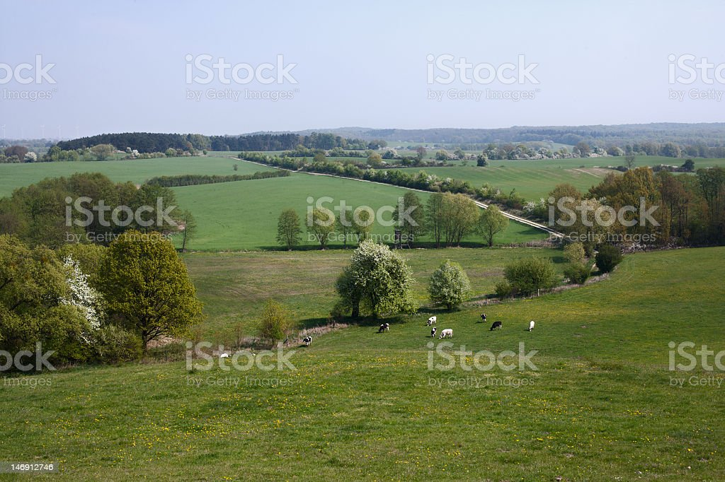 Cows grazing in a field royalty-free stock photo