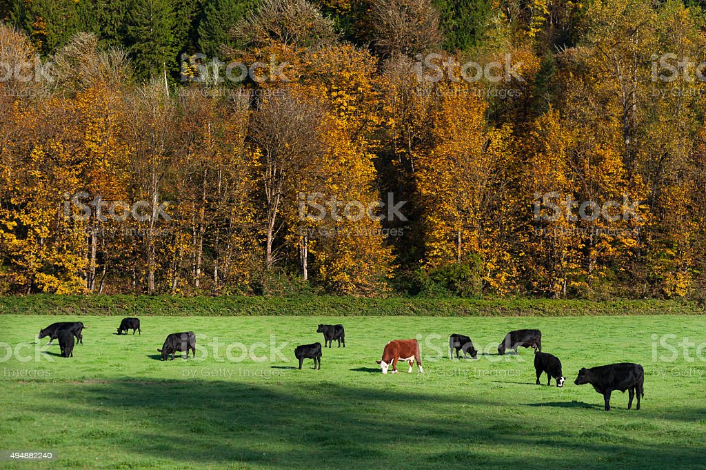 Cows Grazing in an Autumn Pasture. stock photo
