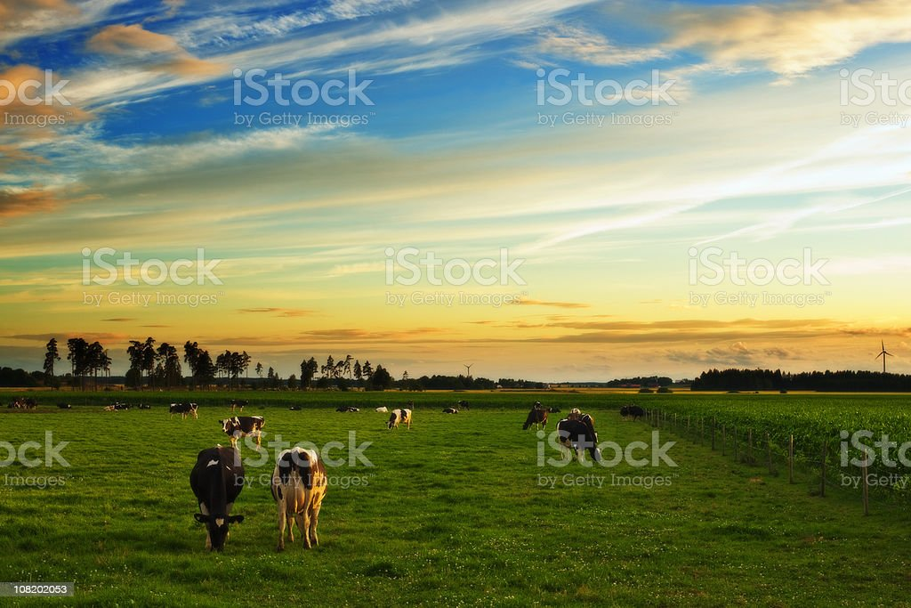 Cows Grazing in Field at Sunset royalty-free stock photo