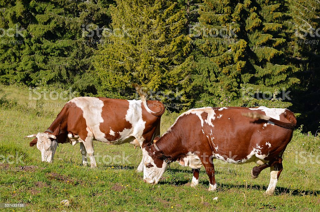 Cows grazing in French Alps stock photo