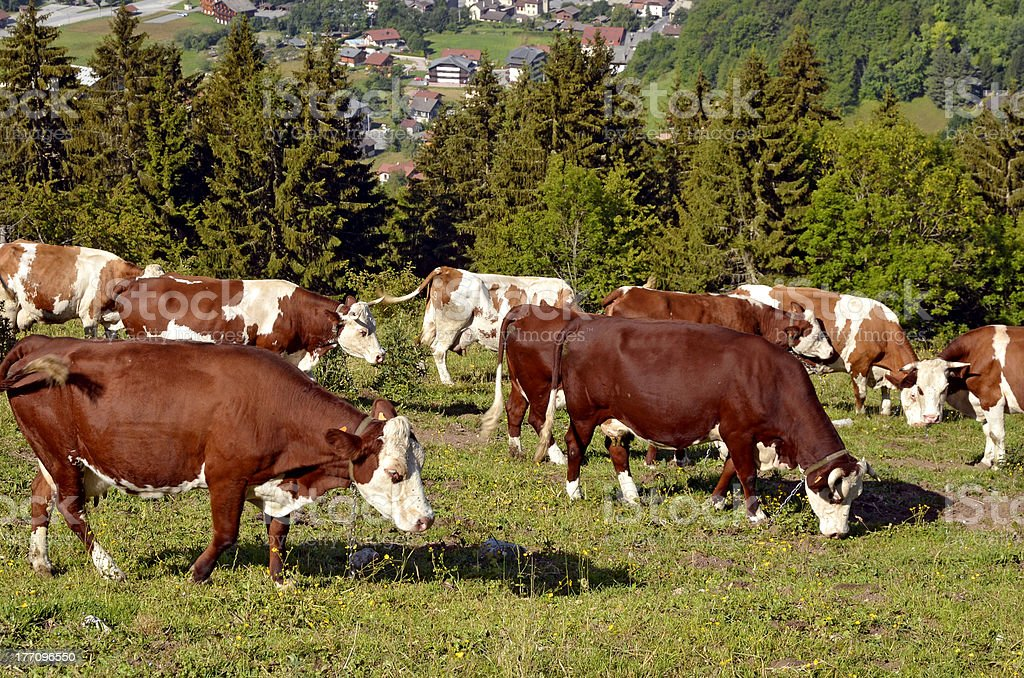 Cows grazing in the Alps French stock photo