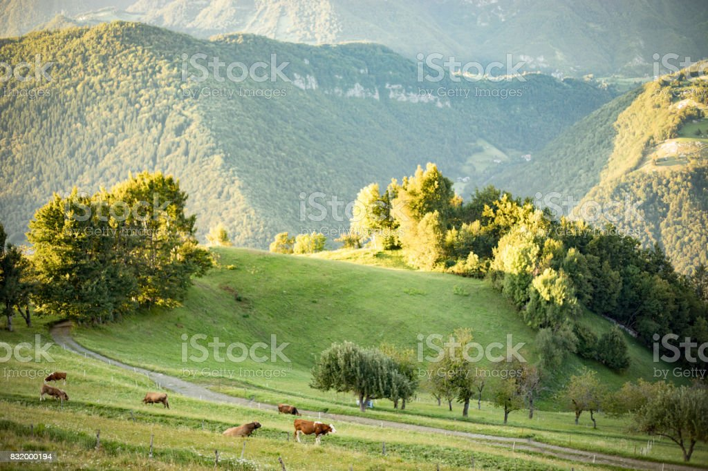 Cows grazing in the hills stock photo