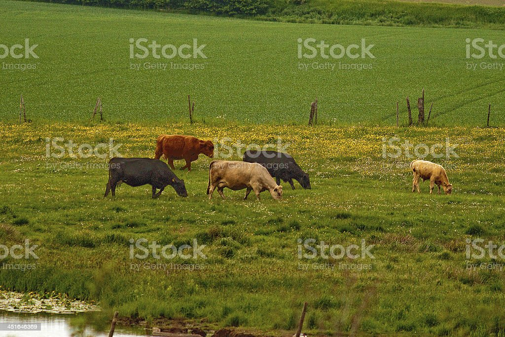 Cows grazing in the pasturage royalty-free stock photo