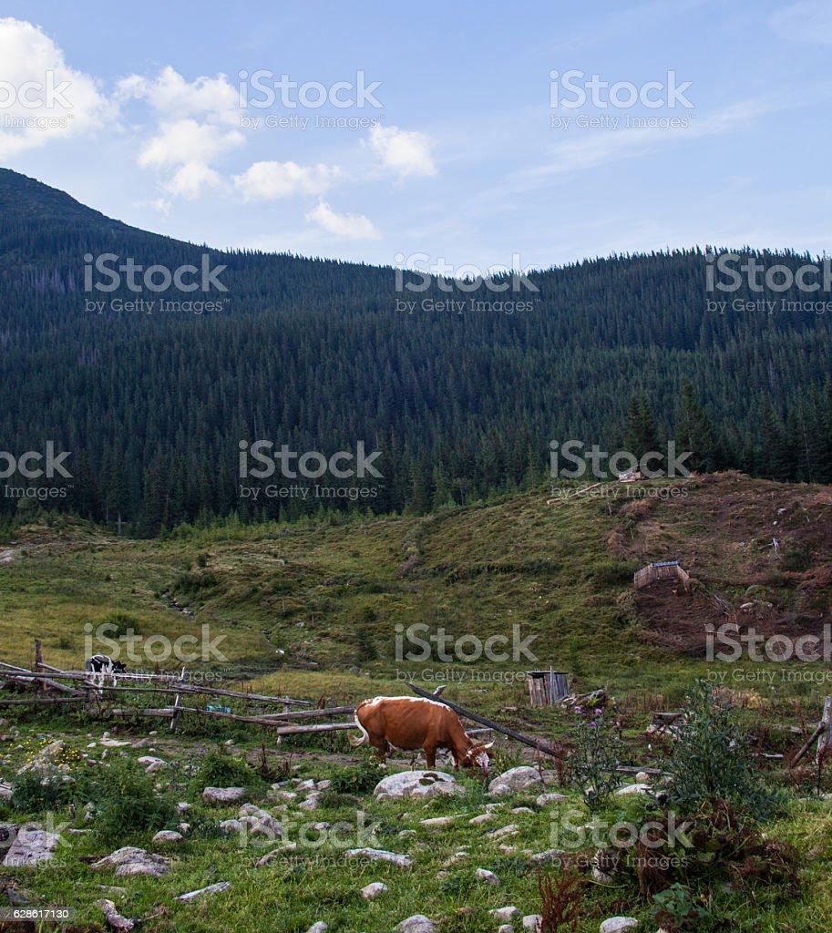 Cows grazing in the Ukrainian Carpathians stock photo