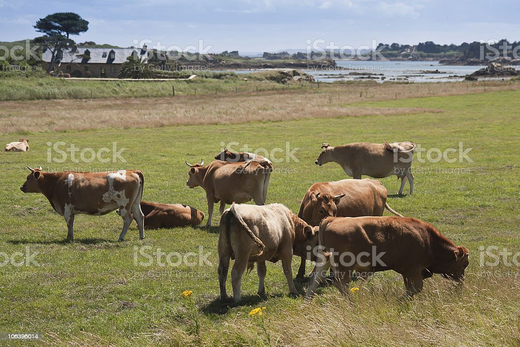 Cows grazing near sea on isle of Brehat in France royalty-free stock photo