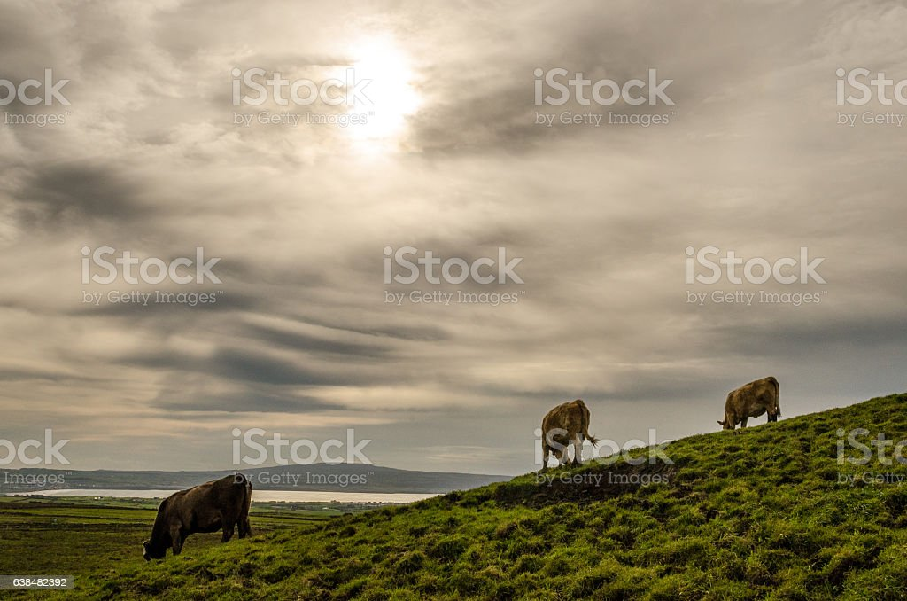 Cow's Grazing on a Cloudy Day stock photo