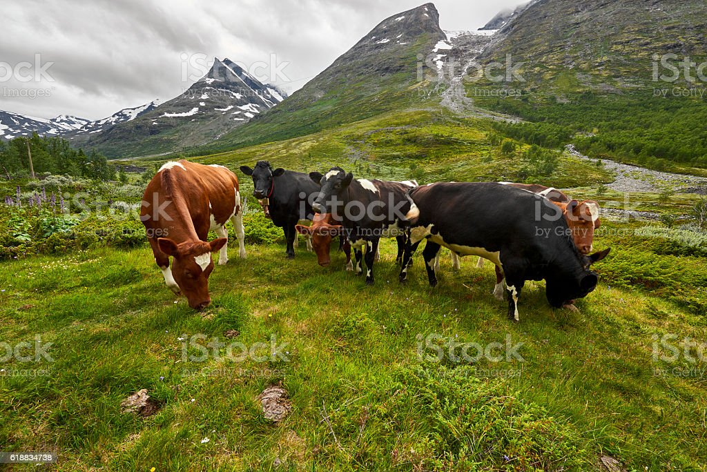 Cows grazing on a green fieldm Norway, nature stock photo