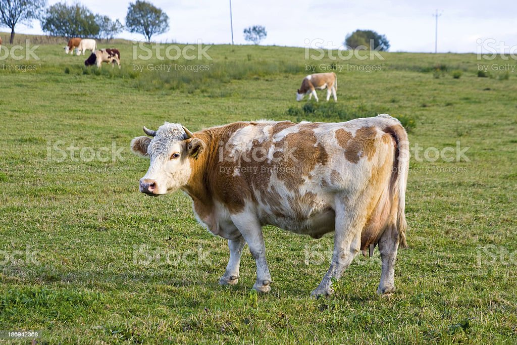 Cows grazing on a green summer meadow at sunny day royalty-free stock photo