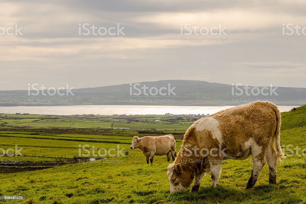 Cow's Grazing on a hill by the Sea stock photo