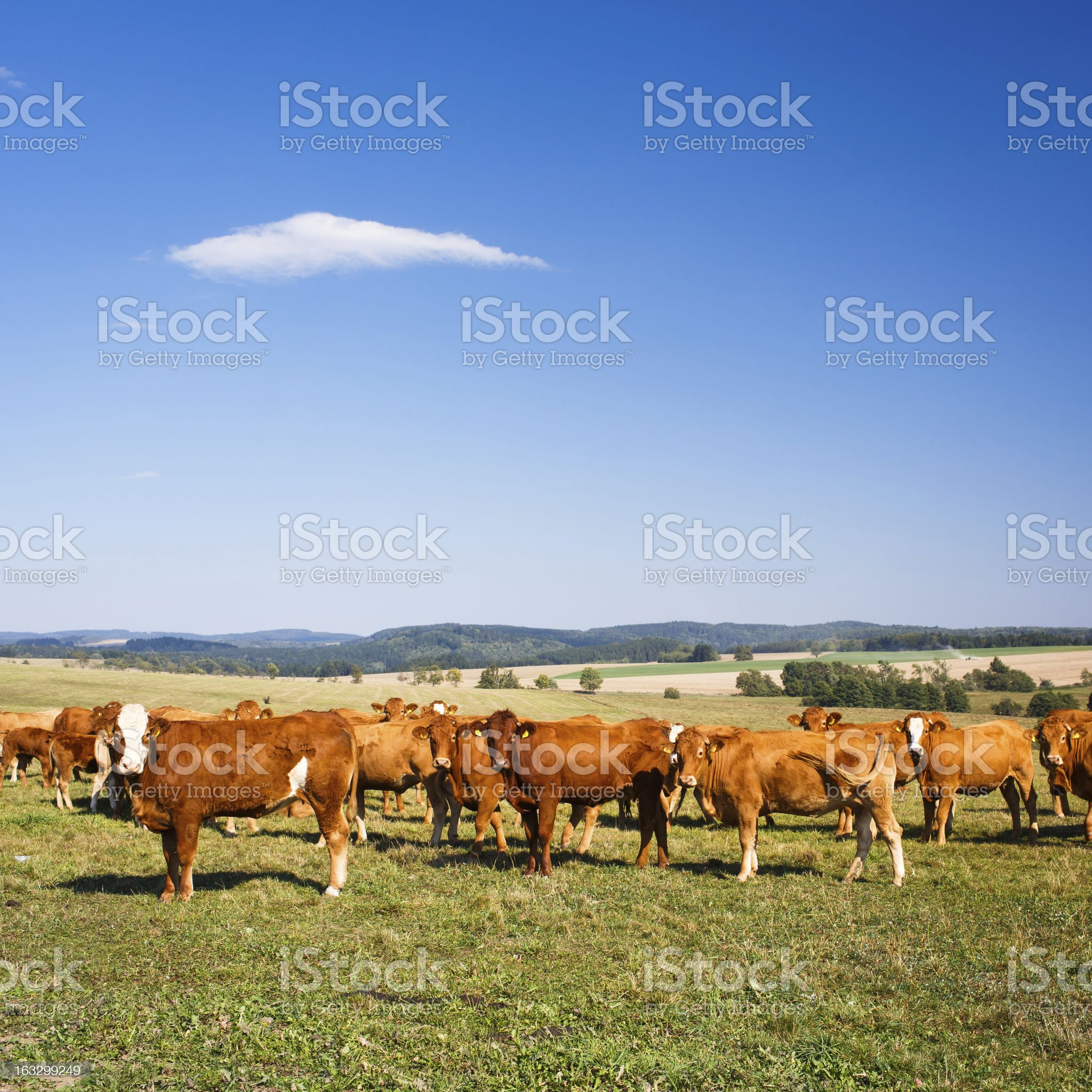 Cows grazing on a lovely green pasture royalty-free stock photo