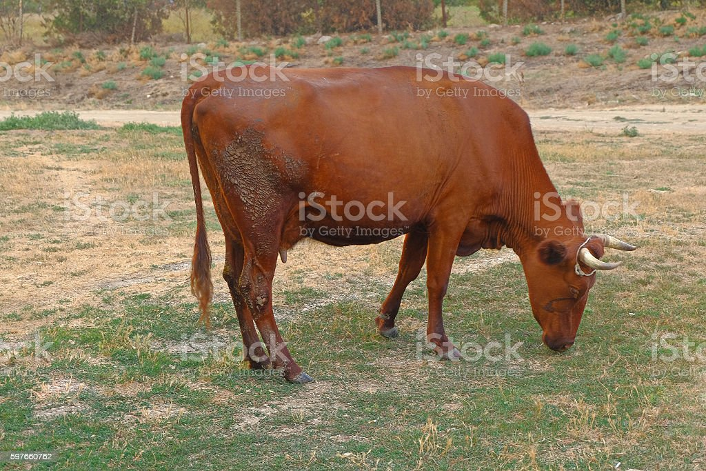 Cows grazing on a low grade pasture stock photo