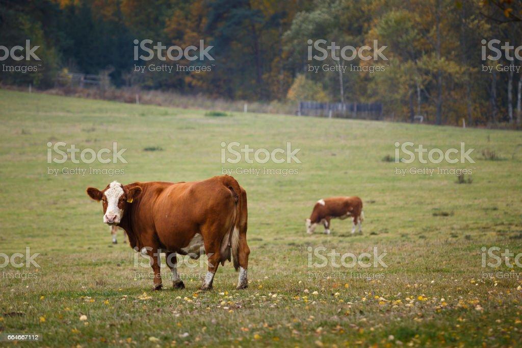 Cows grazing on autumn pasture stock photo