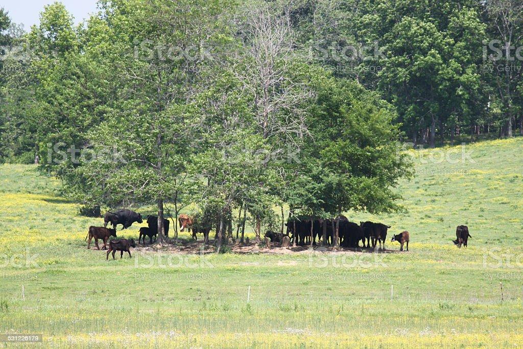 Cows grazing on farm stock photo