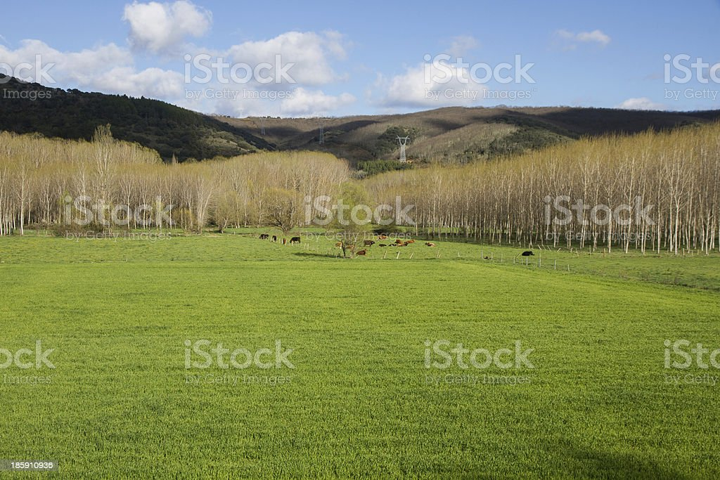 Cows Grazing on Green Meadow - Vacas Pastando en Prado stock photo