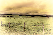 Cows Grazing on Green Pasture in Belgium.