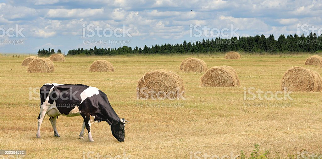 Cows grazing on summer field. stock photo
