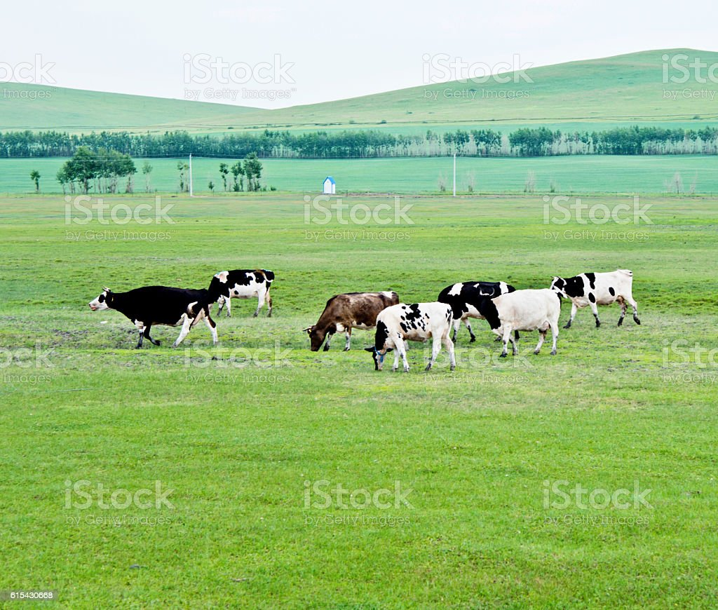 Cows grazing on summer idyllic pastures stock photo