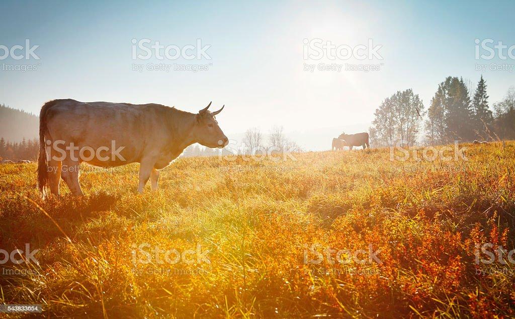 Cows grazing on the meadow in sunset light stock photo