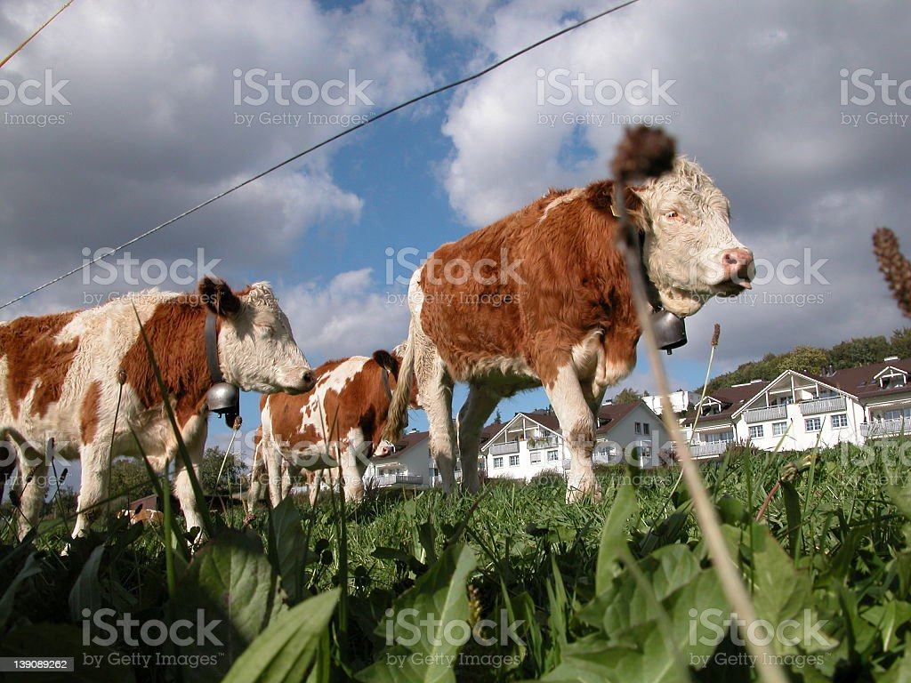 cows grazing royalty-free stock photo