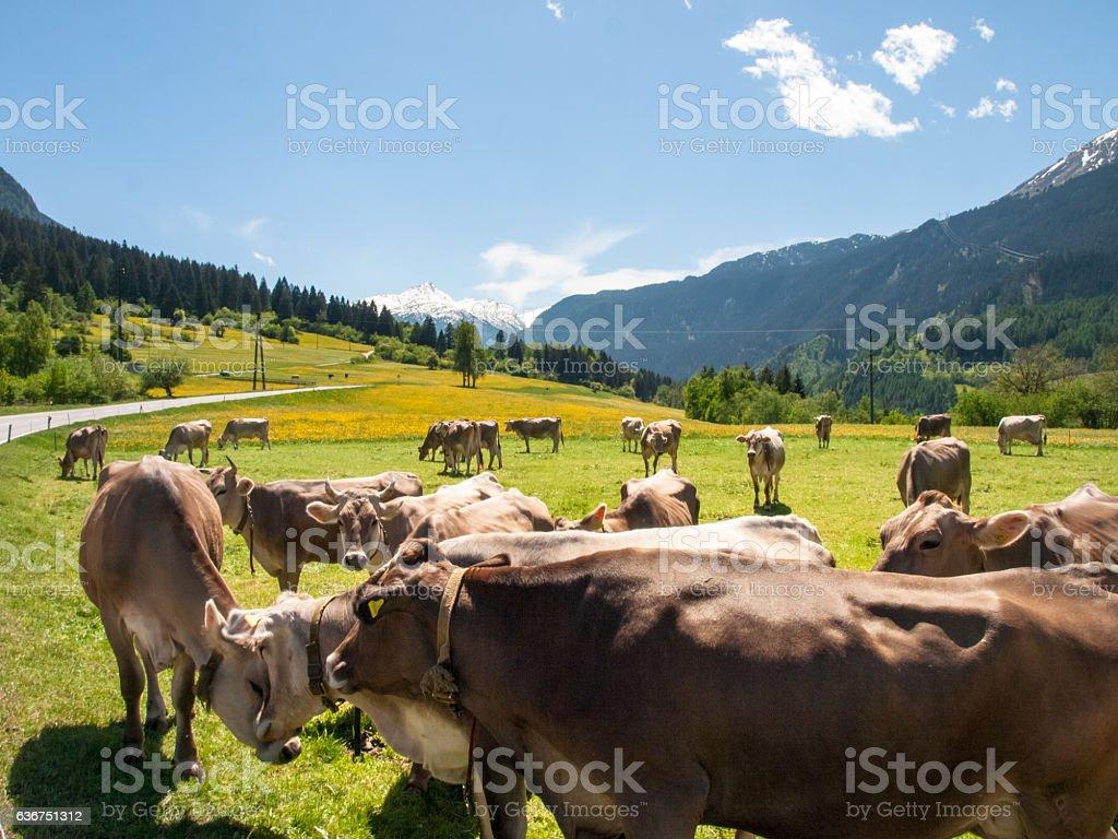 Cows grazing stock photo
