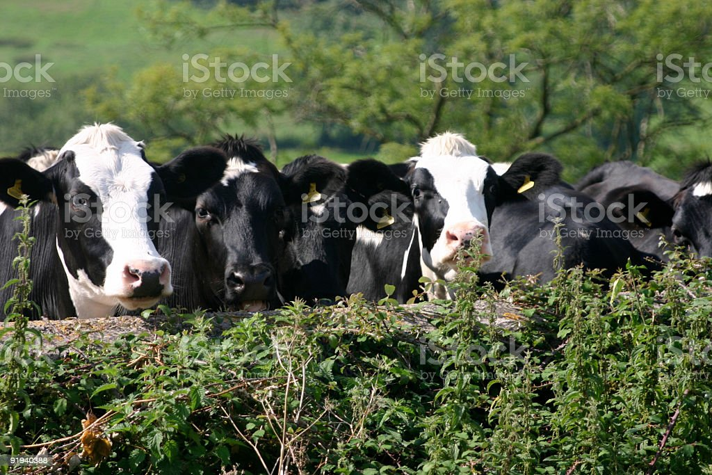 Cows hanging out royalty-free stock photo