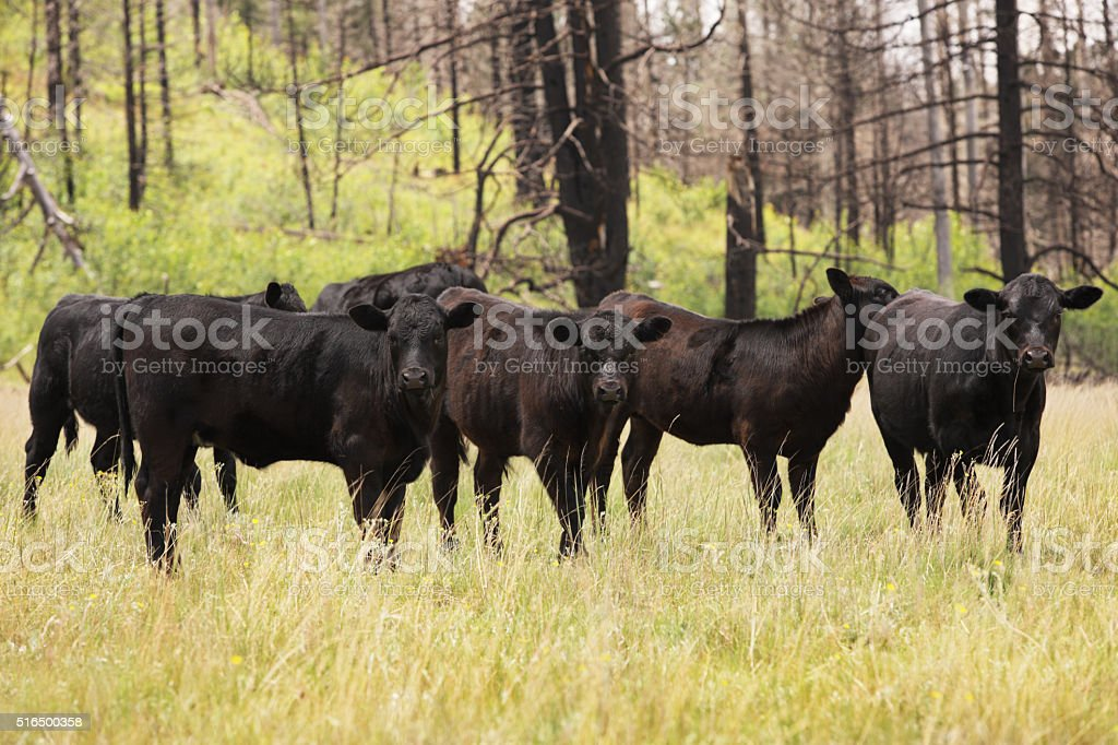 Cows Hereford Holstein Livestock Cattle stock photo