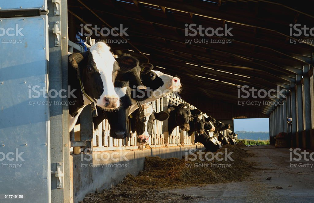 Cows in a barn stock photo