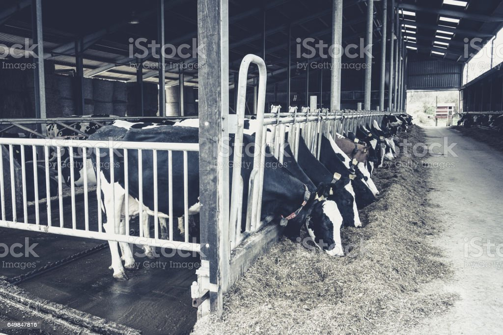 Cows in a farm. Dairy cows. black and white photography stock photo