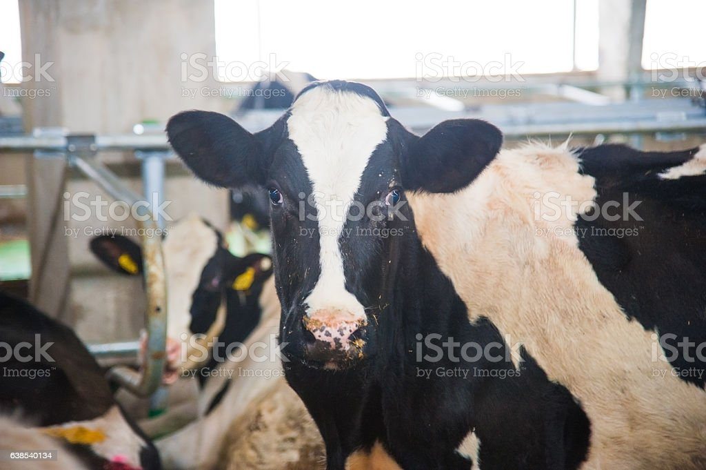 Cows in a farm. Dairy cows stock photo