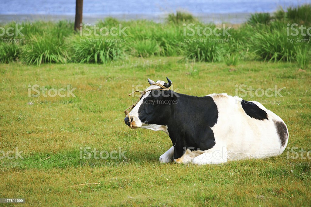 Cows in a Field royalty-free stock photo