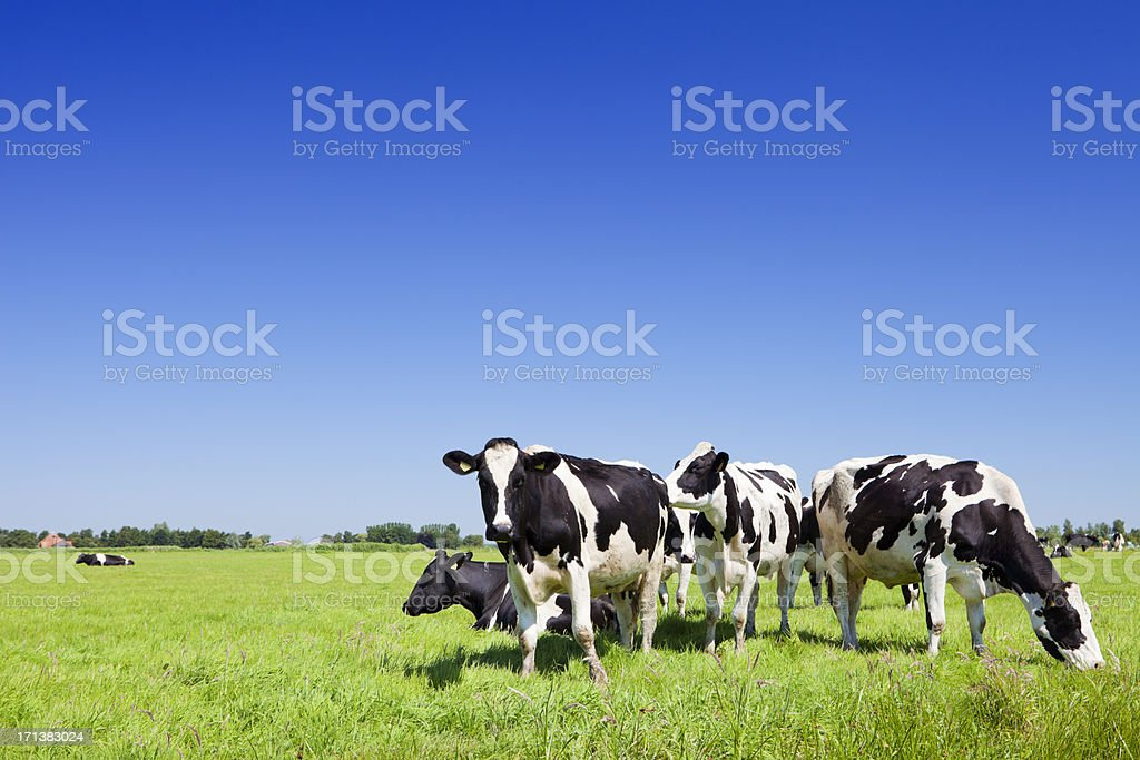 Cows in a fresh grassy field on a clear day stock photo