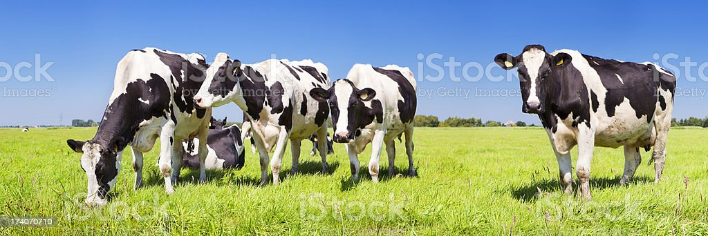 Cows in a fresh grassy field on a clear day royalty-free stock photo