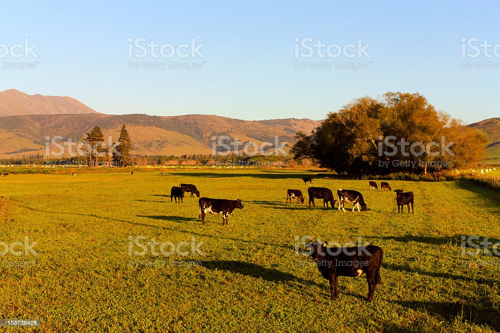 Cows in a grassland at early morning stock photo