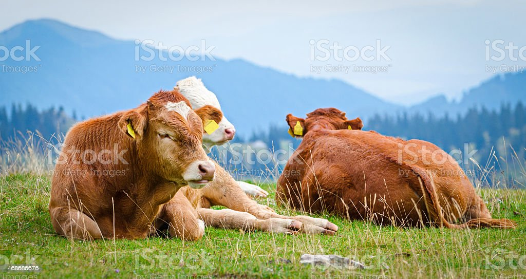 Cows in a mountain landscape stock photo